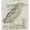 Nycticorax (détail) © KBR - URL