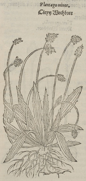 Plantago minor (détail) © KBR - URL