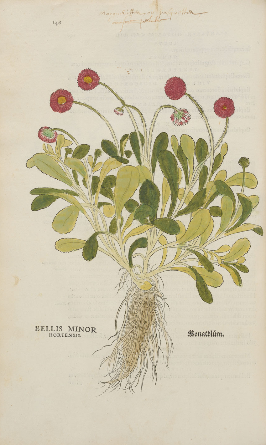 Bellis minor hortensis  © KBR - URL
