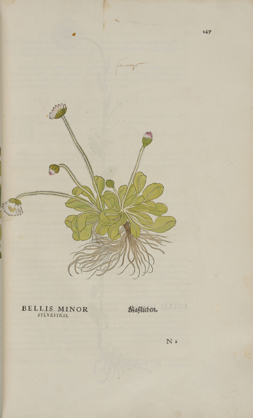 Bellis minor sylvestris © KBR - URL