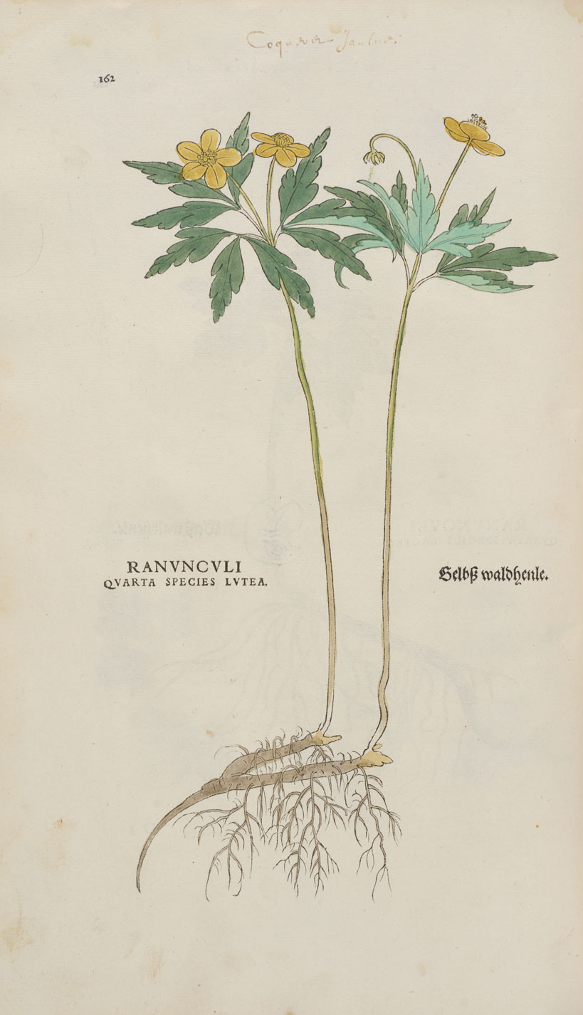 Ranunculi quarta species lutea © KBR - URL