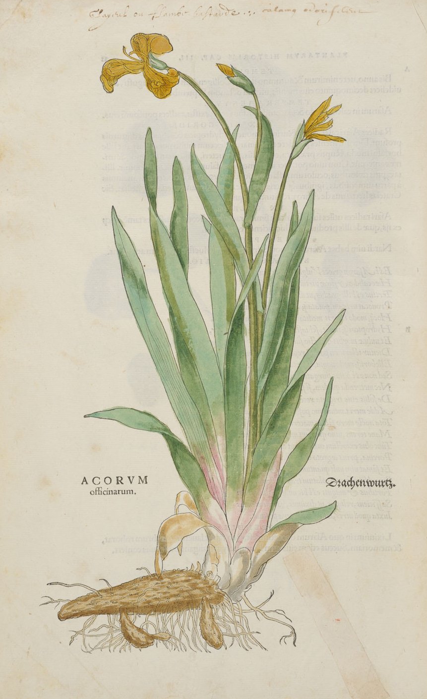 Acorum officinarum © KBR - URL